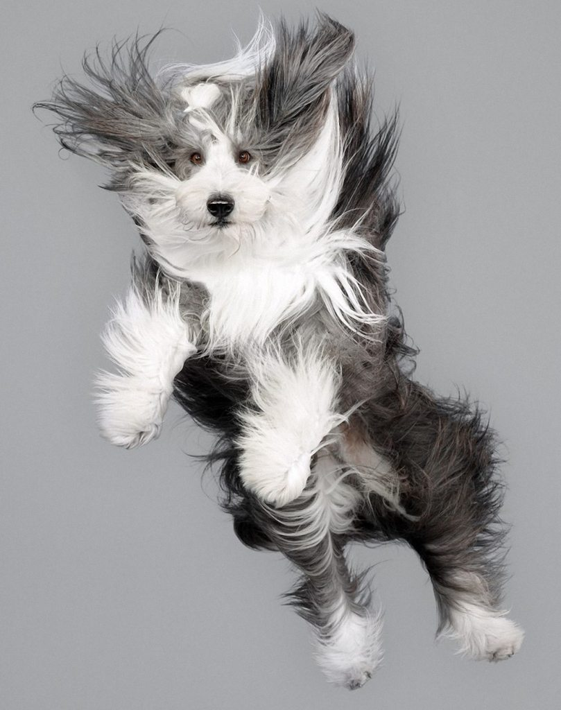 adorable-flying-dogs-17