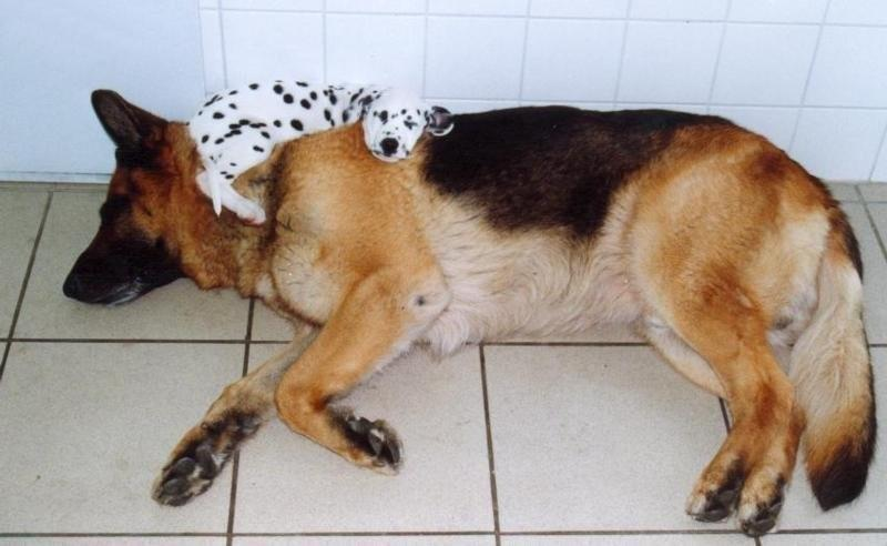 Dogs-that-are-comfortable-to-sleep-in-the-most-unimaginable-poses-14