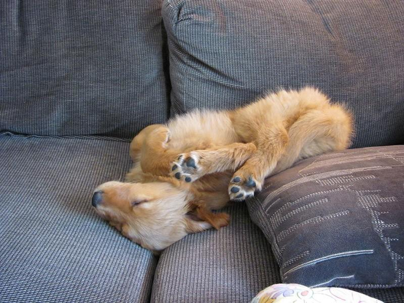 Dogs-that-are-comfortable-to-sleep-in-the-most-unimaginable-poses-22