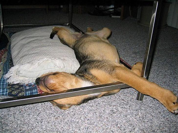 Dogs-that-are-comfortable-to-sleep-in-the-most-unimaginable-poses-27