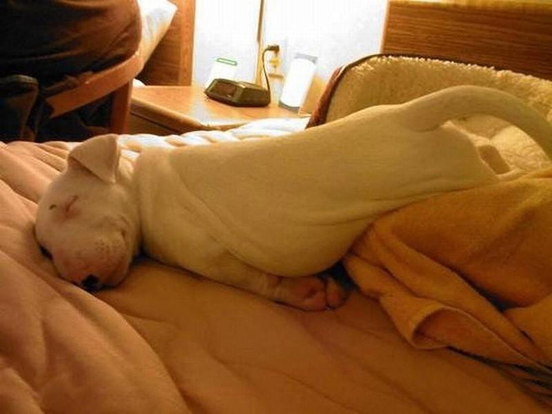 Dogs-that-are-comfortable-to-sleep-in-the-most-unimaginable-poses-4