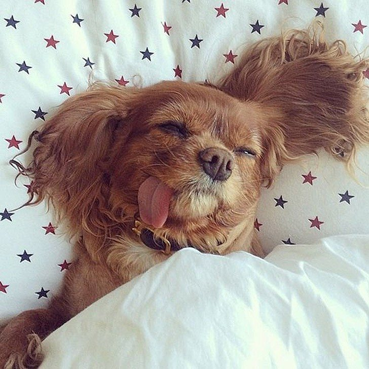 Toast-only-spaniel-in-the-world-with-the-tongue-out-11