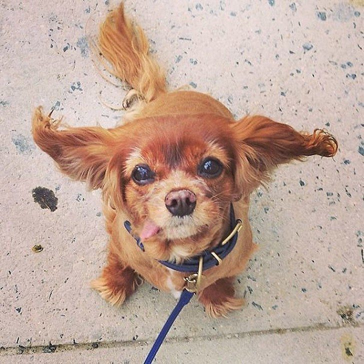 Toast-only-spaniel-in-the-world-with-the-tongue-out-2