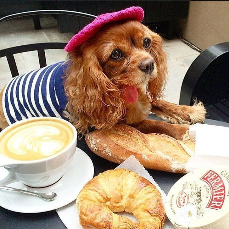 Toast-only-spaniel-in-the-world-with-the-tongue-out-6