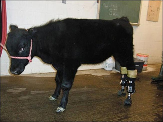 Animals-that-got-a-chance-for-a-new-life-thanks-to-the-prosthesis-10