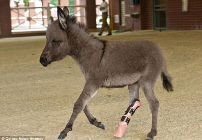 Animals-that-got-a-chance-for-a-new-life-thanks-to-the-prosthesis-11