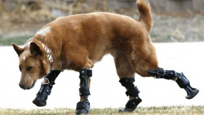 Animals-that-got-a-chance-for-a-new-life-thanks-to-the-prosthesis-12