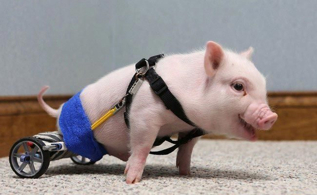 Animals-that-got-a-chance-for-a-new-life-thanks-to-the-prosthesis-13
