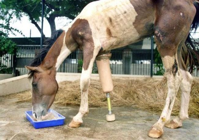 Animals-that-got-a-chance-for-a-new-life-thanks-to-the-prosthesis-2