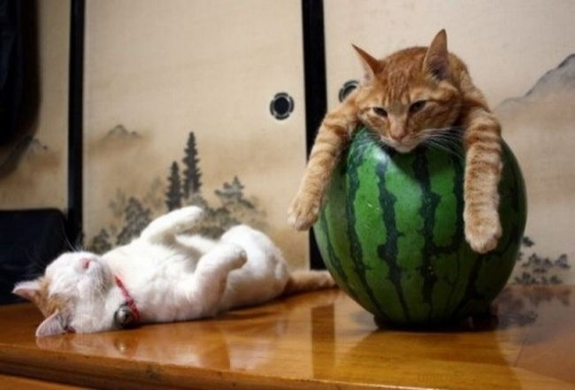 Cats-that-know-how-to-choose-proper-sleep-position-6