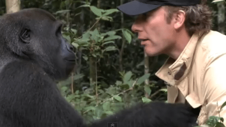 man-meets-the-gorilla-that-he-raised-as-his-own-child