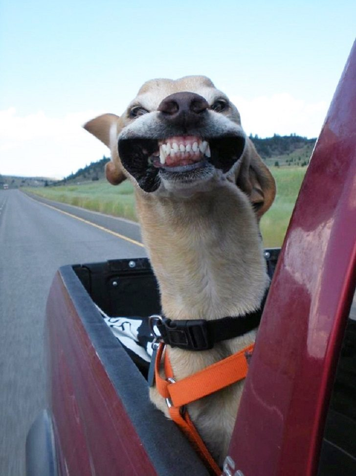 Dogs-that-love-to-ride-in-a-car-more-than-anything-in-life-1