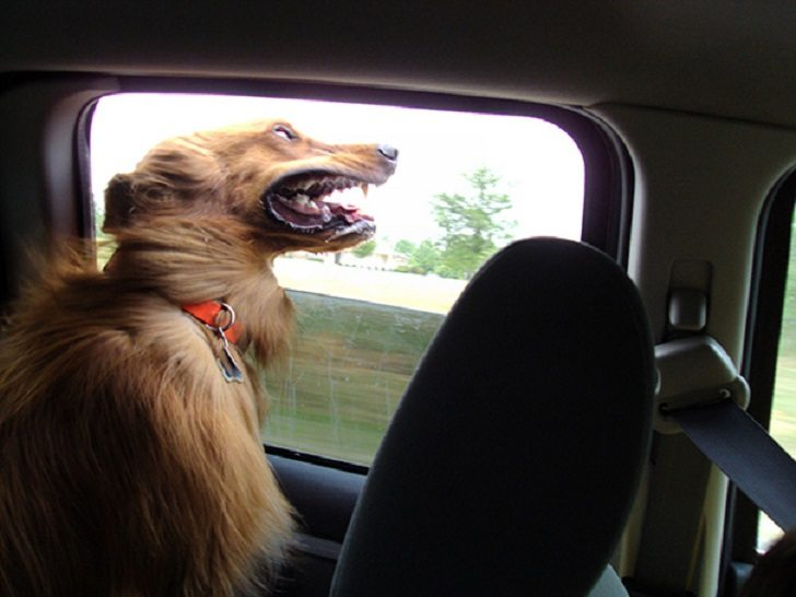 Dogs-that-love-to-ride-in-a-car-more-than-anything-in-life-11