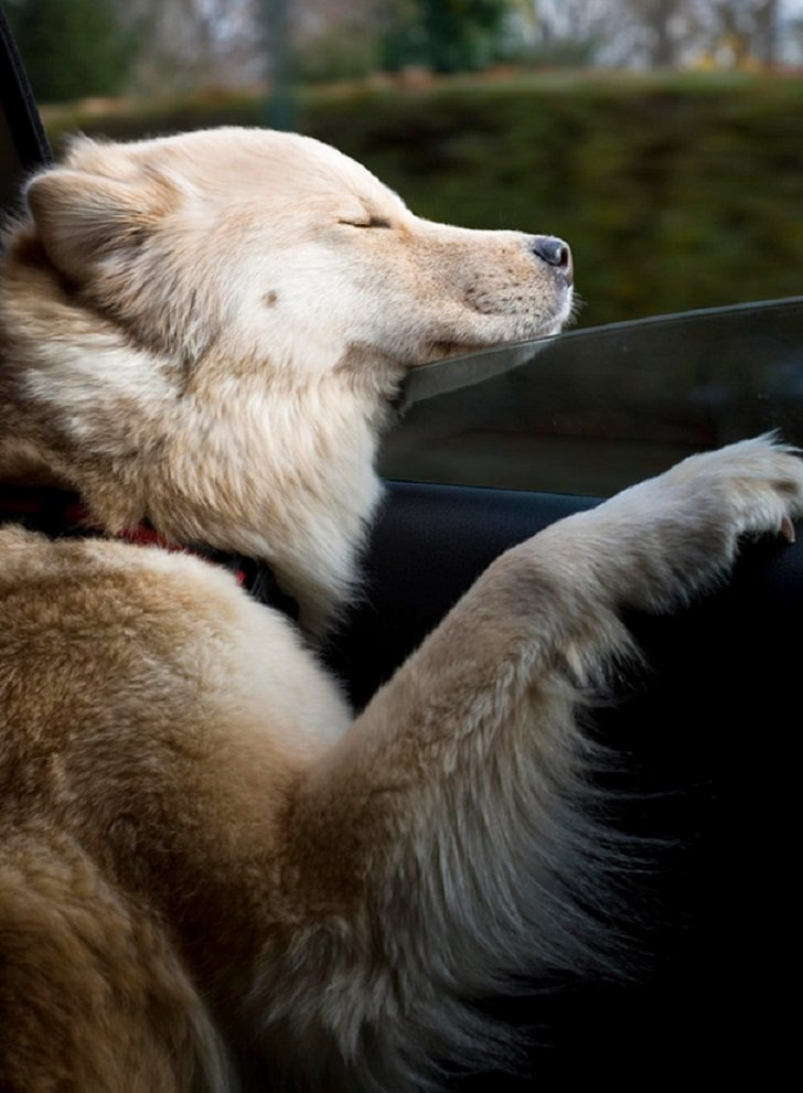 Dogs-that-love-to-ride-in-a-car-more-than-anything-in-life-13
