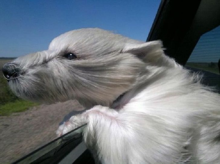 Dogs-that-love-to-ride-in-a-car-more-than-anything-in-life-16