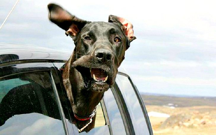Dogs-that-love-to-ride-in-a-car-more-than-anything-in-life-17