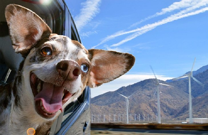 Dogs-that-love-to-ride-in-a-car-more-than-anything-in-life-2