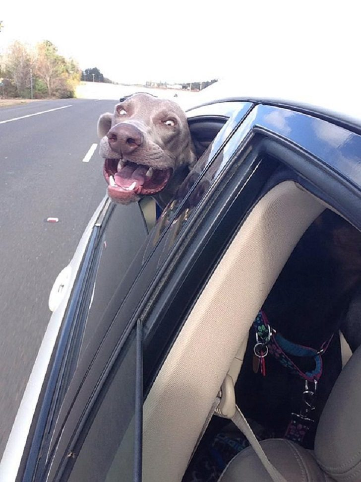 Dogs-that-love-to-ride-in-a-car-more-than-anything-in-life-4