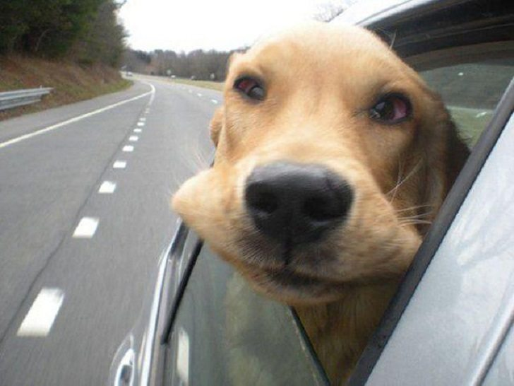 Dogs-that-love-to-ride-in-a-car-more-than-anything-in-life-5
