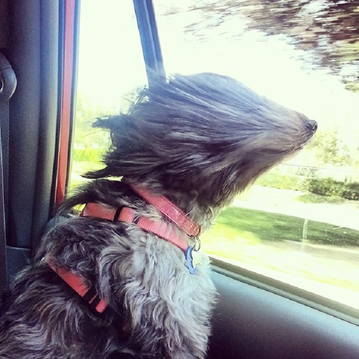 Dogs-that-love-to-ride-in-a-car-more-than-anything-in-life-6