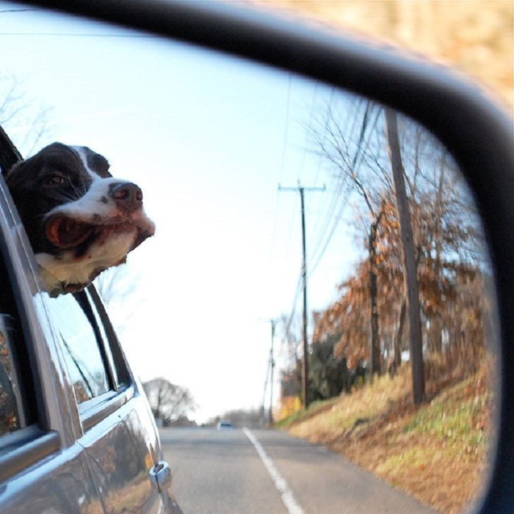 Dogs-that-love-to-ride-in-a-car-more-than-anything-in-life-9