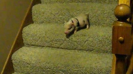 funny-mini-pig-is-walking-downstairs-first-time-in-its-life