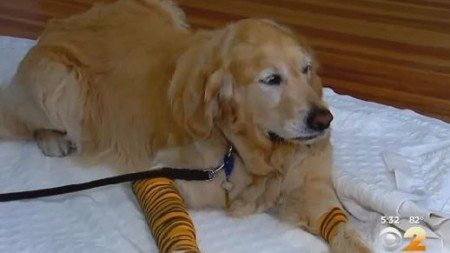 dog-jumps-in-front-of-the-school-bus-to-save-the-life-of-its-blind-owner