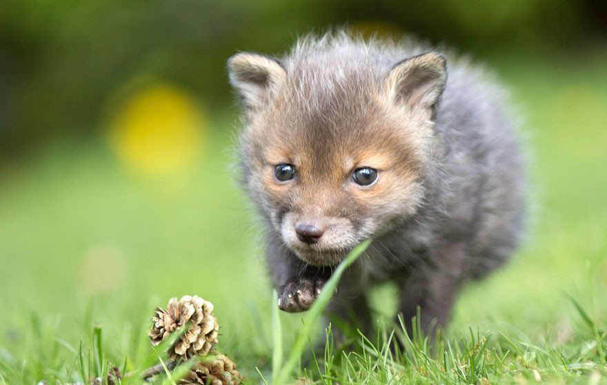 Dog-becomes-a-foster-mother-for-orphaned-fox-10