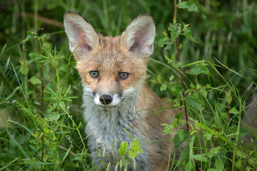Dog-becomes-a-foster-mother-for-orphaned-fox-12