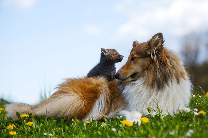 Dog-becomes-a-foster-mother-for-orphaned-fox-14