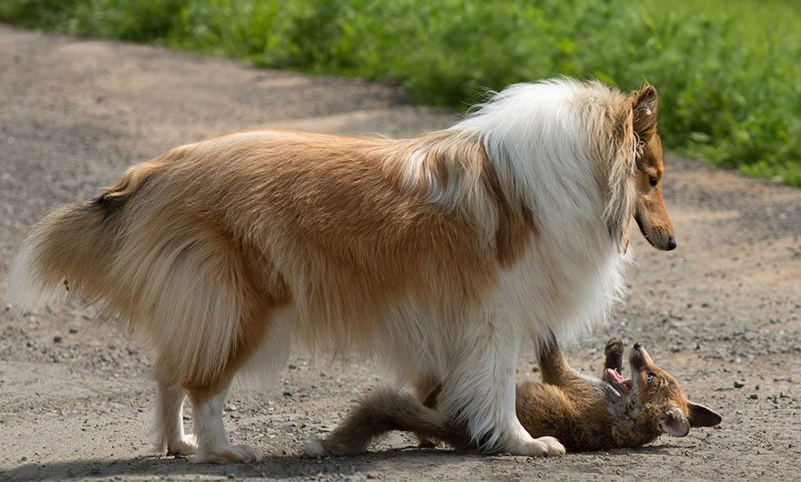 Dog-becomes-a-foster-mother-for-orphaned-fox-15