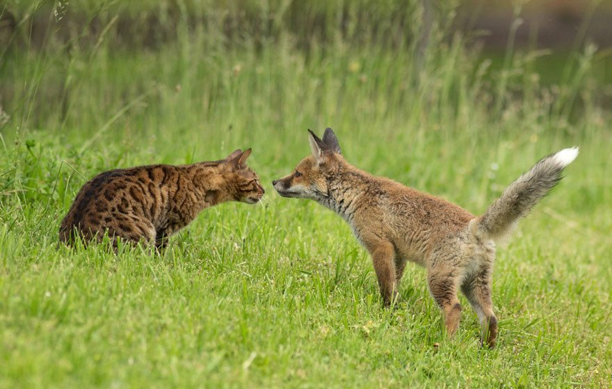 Dog-becomes-a-foster-mother-for-orphaned-fox-5