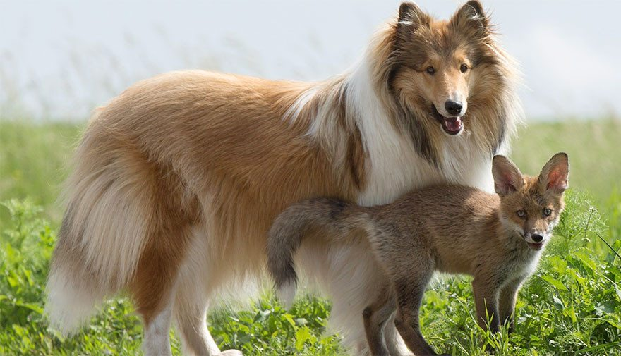Dog-becomes-a-foster-mother-for-orphaned-fox-6