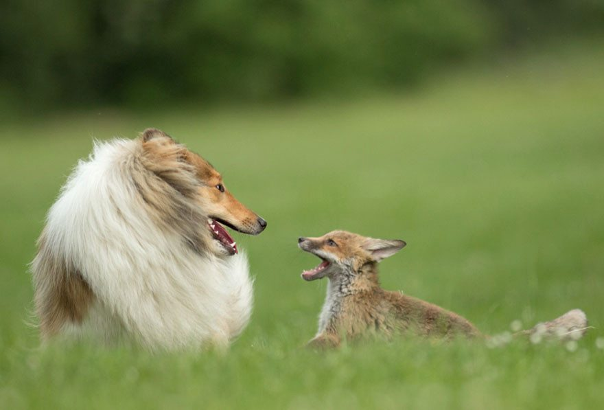 Dog-becomes-a-foster-mother-for-orphaned-fox-7