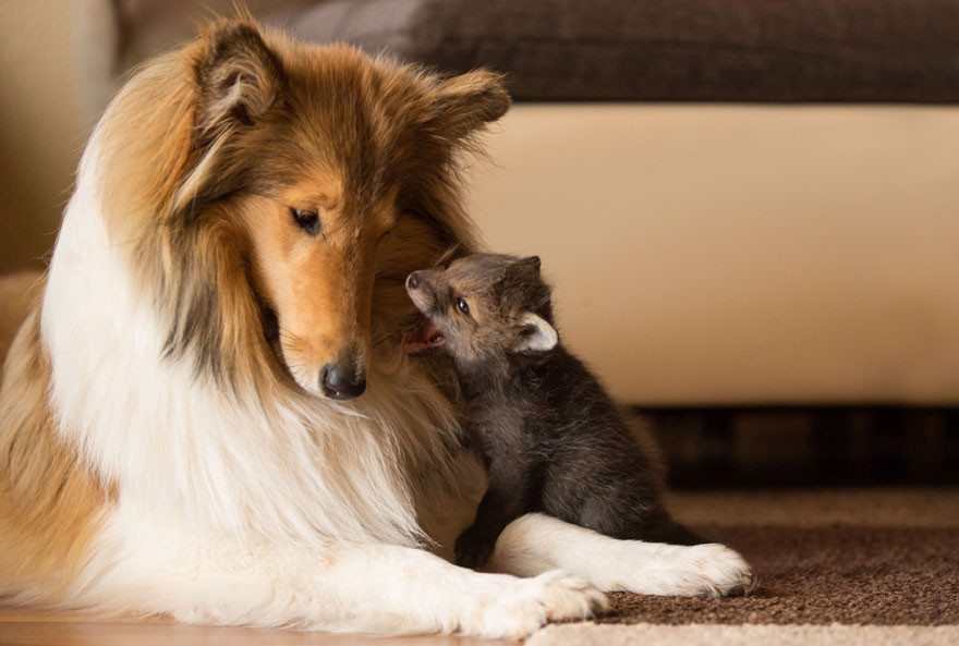 Dog-becomes-a-foster-mother-for-orphaned-fox-9