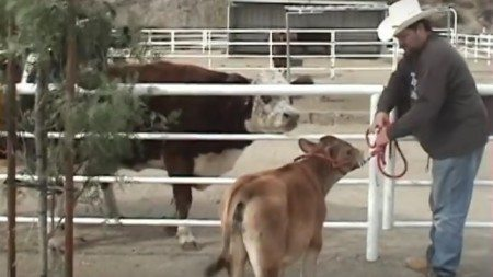 Emotional-reunion-of-mother-cow-and-her-calf