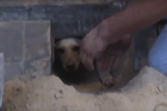 Dog-which-had-been-bricked-up-for-2-days-2