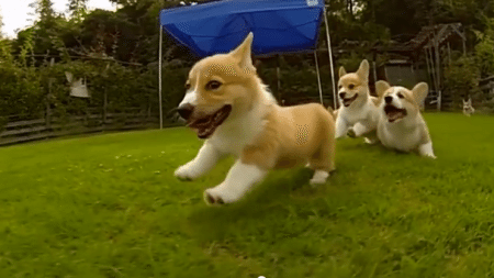 Slow-motion-video-of-cute-corgi-puppies