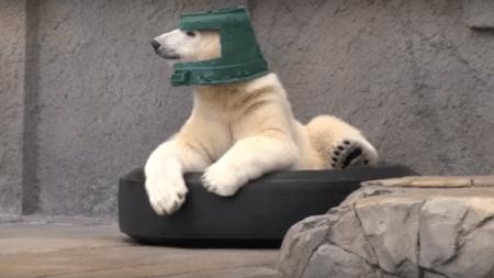 polar-bear-uses-bowl-hat-will-melt-heart