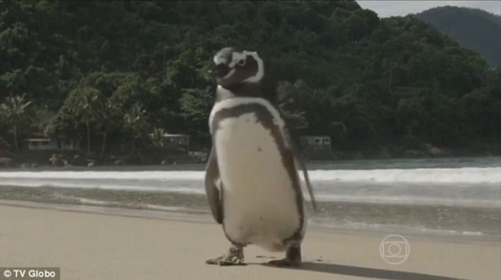 year-penguin-swims-8000-kilometers-meet-best-friend-3